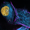 Live HeLa cells stained with SPY555-actin (magenta), SPY595-DNA (orange) and SPY650-tubulin (blue)